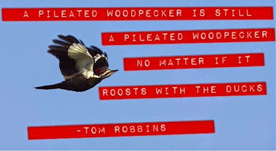 """A pileated woodpecker is still a pileated woodpecker no matter if it roosts with the ducks."" -Tom Robbins, Tibetan Peach Pie www.thebrighterwriter.blogspot.com #tomrobbins #tibetanpeachpie"