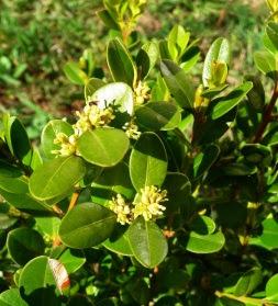 Bukszpan wieczniezielony Buxus sempervirens kwiat
