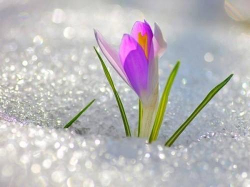 Chùm thơ hay về hoa Xuyên Tuyết với nhiều ảnh đẹp mới nhất