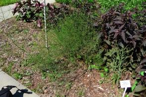 Szparag lekarski Asparagus officinalis
