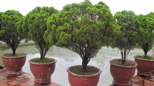 Bộ 5 cây Trắc Bách Diệp