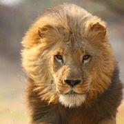 К чему снится лев (Сонник)