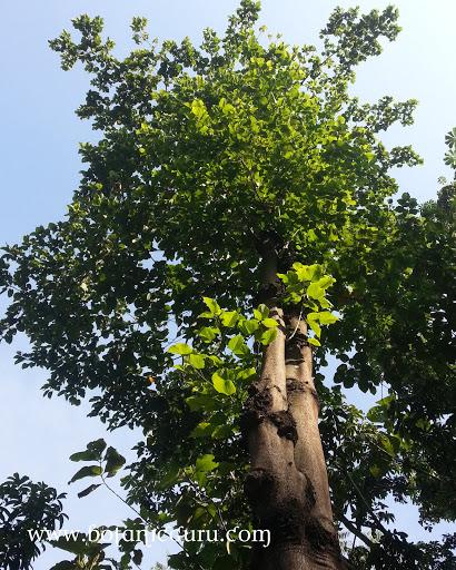 Sterculia campanulata canopy