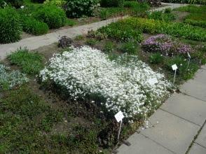 Rogownica kutnerowata Cerastium tomentosum
