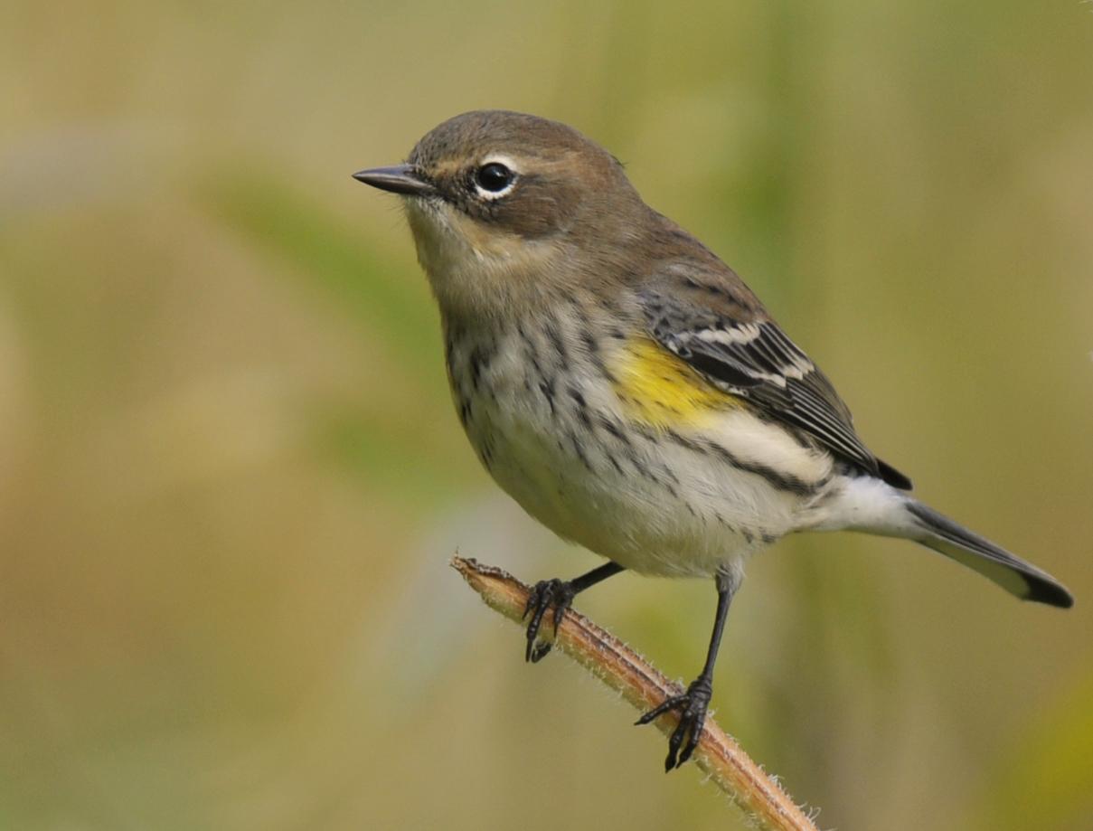 Birds  Yellow-Rumped Warbler