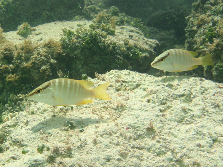 Sparisoma viride (Juvenile Stoplight Parrotfish) near Tranquility Bay Resort.