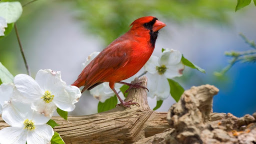 Cardinal in a Blooming Tree, McLeansville, North Carolina.jpg