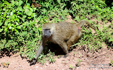 Baboons following our jeep