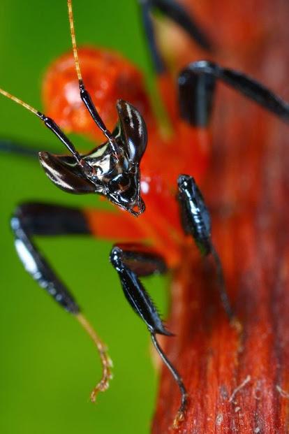 __Orchid_mantis_1st_instar___by_macrojunkie.jpg