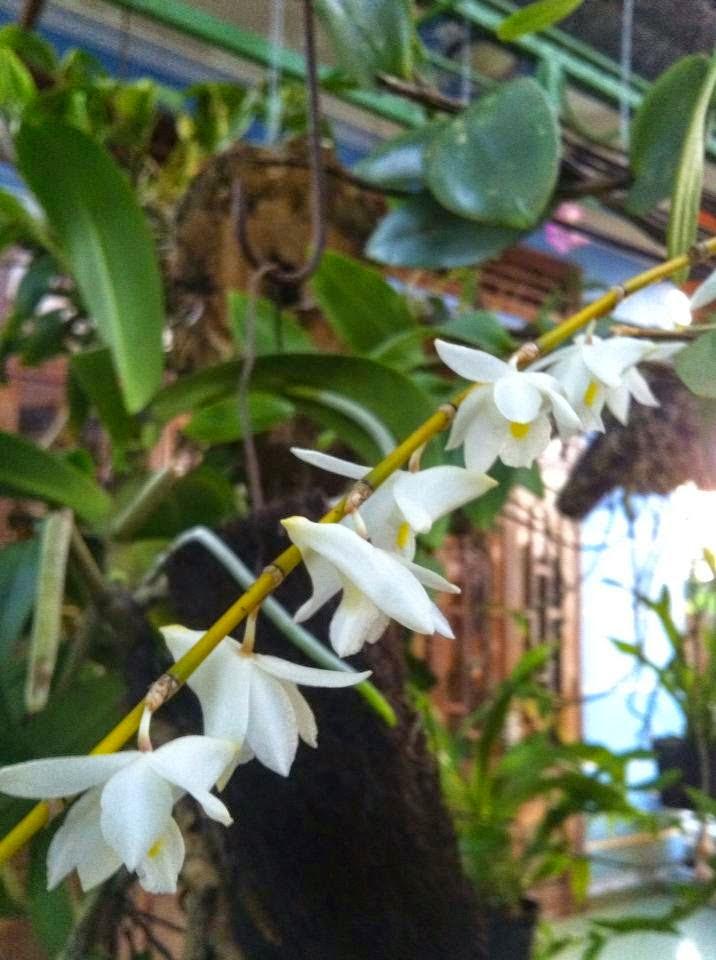 hoàng thảo bạch câu có hoa thơm nhưng không bền