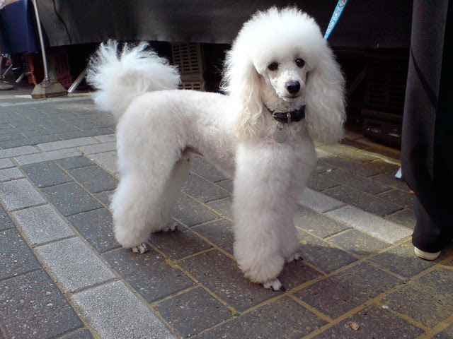 Poodle Dog Breed Good With Children