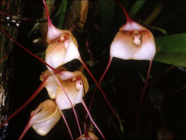 Растения из Тюмени. Краткий обзор - Страница 3 Dracula_venosa