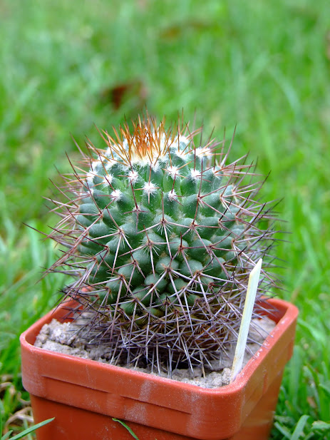 Mammillaria nigra? DSCF4063