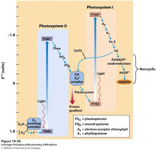 Photphorin hóa vòng và không vòng