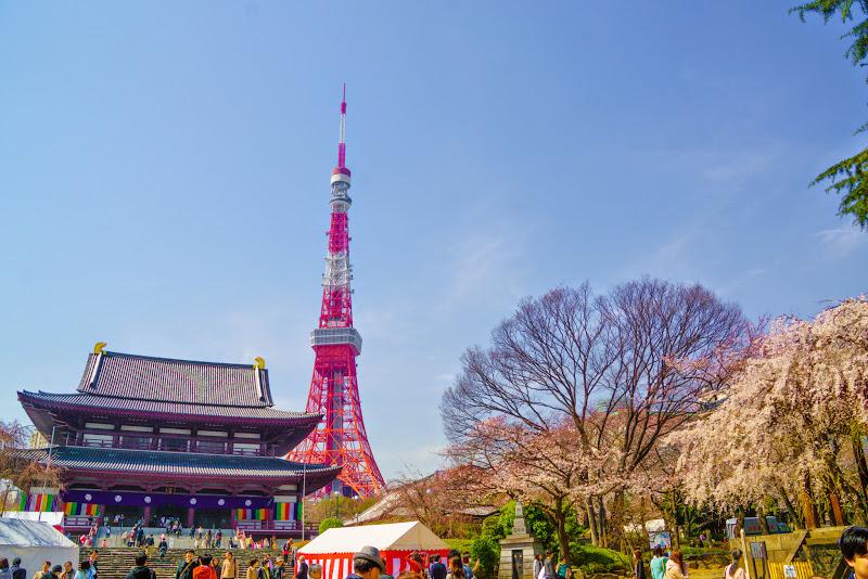 増上寺 桜 写真 1