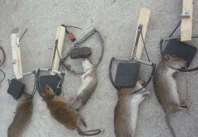 Diệt chuột cho nhà máy