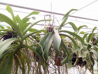 Hoa lan Ngọc Điểm - Nghinh Xuân - Đai Châu rừng trồng thuần tại vườn - 11