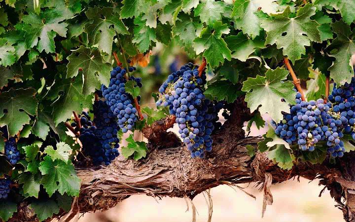 виноградная лоза лечит спину
