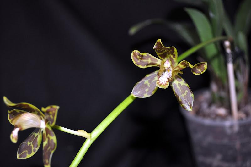 Grammatophyllum  Yuan Nan Tiger  DSC_0013