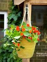 Hạt giống hoa sen cạn