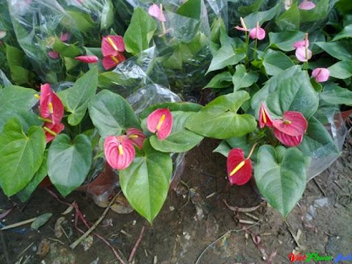 vườn hoa tiểu hồng môn