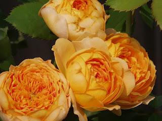 Hoa hồng Honey Caramel với form hoa tròn trịa, như những quả trứng gà rất dễ thương