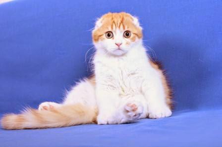 Jenis kucing peliharaan terpopuler Rumfold Red Bull