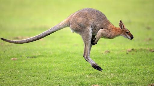 Jumping Wallaby, Australia.jpg