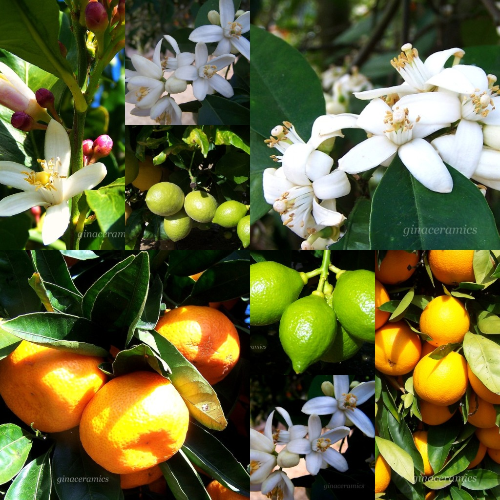 Picking oranges, lemons and limes with the sun shining on my face.