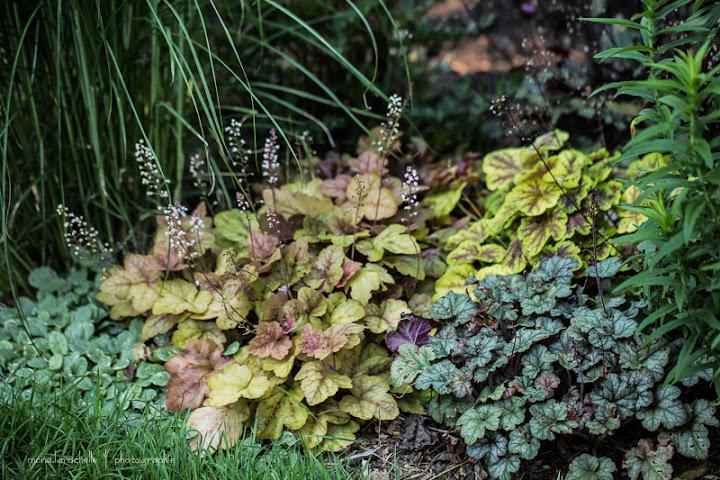 Heucherella  Redstone Falls Heucherella-redstone-falls-130720-69rm