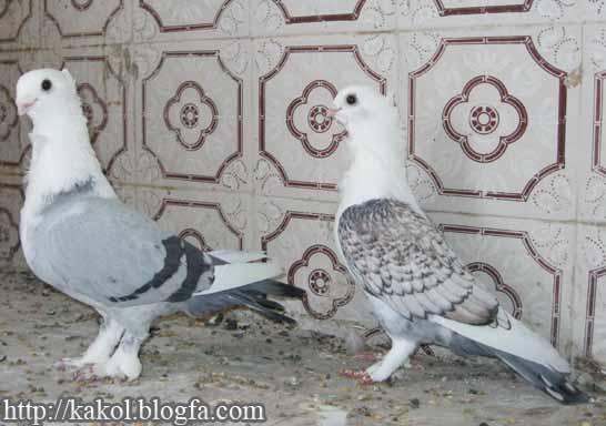 عکس کبوتر طاووسی