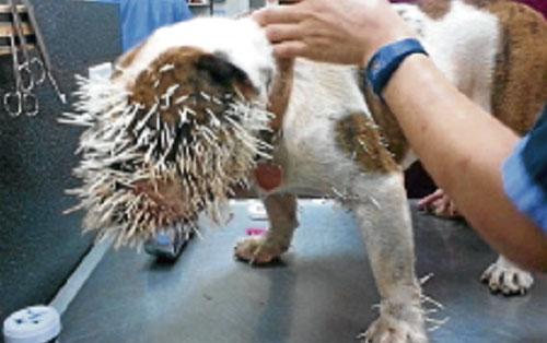 500 duri landak terpacak pada muka anjing
