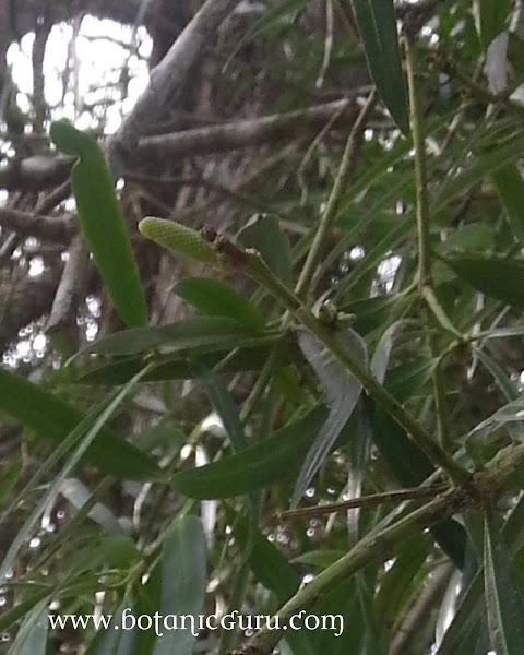 Podocarpus polystachyus, Sea Teak
