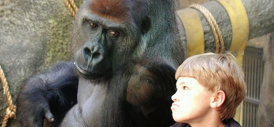 Gorilla and boy