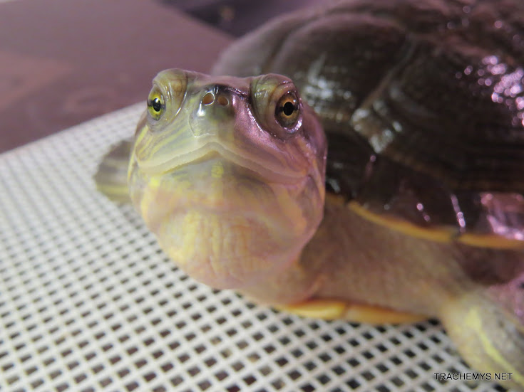 mes tortues (BK) - Page 11 IMG_2194