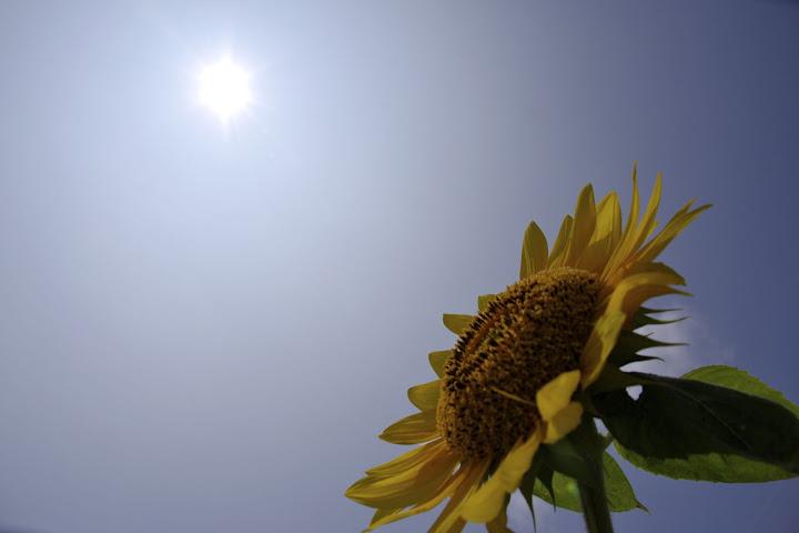 太陽と友達のひまわりさん