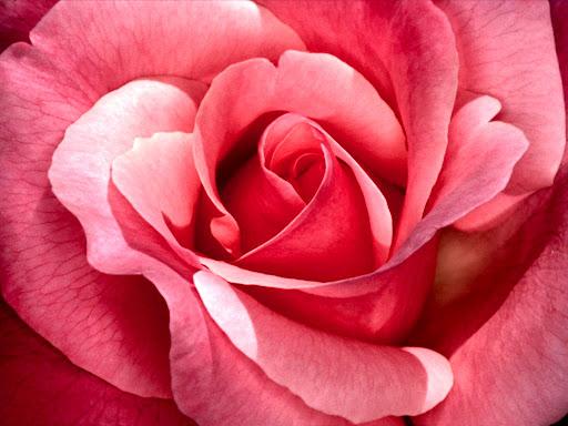 One_Rose_wallpaper.jpg