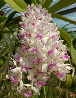 Hoa lan Ngọc Điểm - Nghinh Xuân - Đai Châu rừng trồng thuần tại vườn