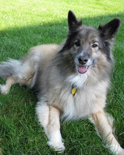 Keeshond mix dog, from Life with Dogs and Cats.