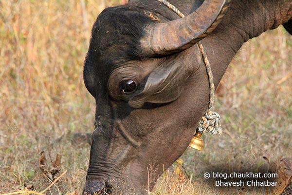 Close-up of a Grazing Indian Buffalo