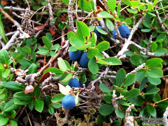 fructe de munte, subarbust: afin negru