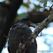 blackbird_shail