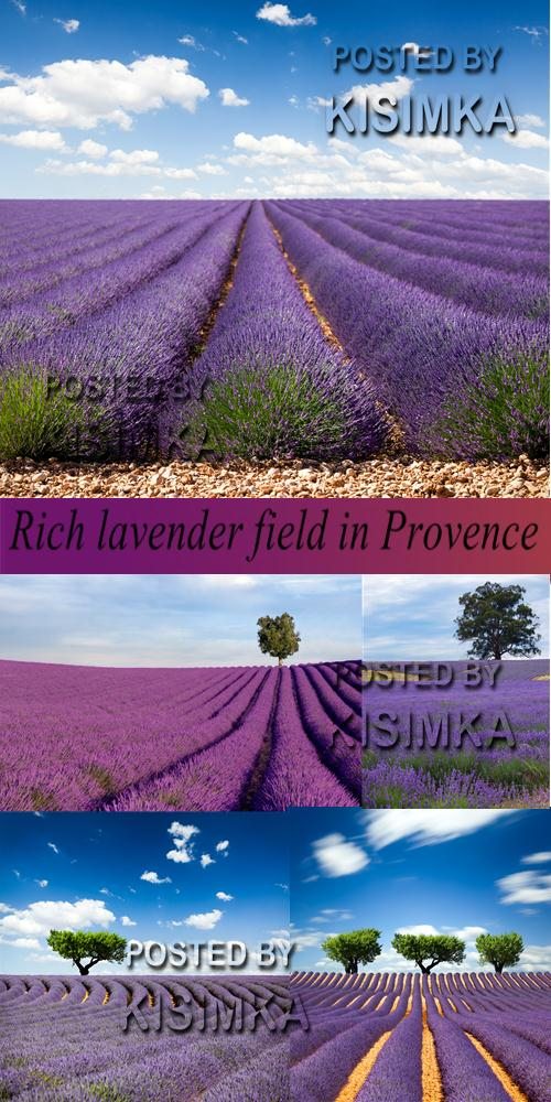 Rich lavender field in Provence