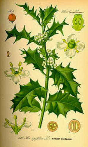 Holly Sacred Druidry Plant