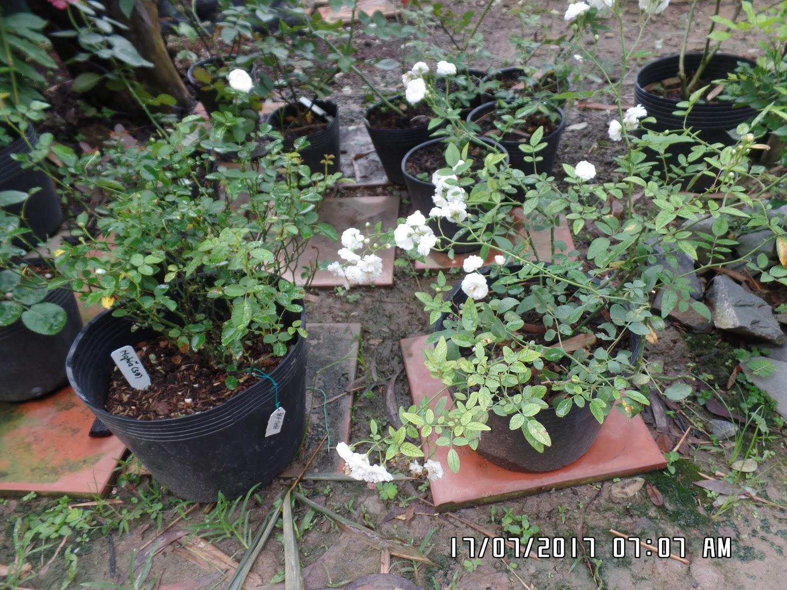 Chậu hồng bên trái là cây hồng Bạch Nhài, chậu hồng bệnh phải là hồng Bạch Trà