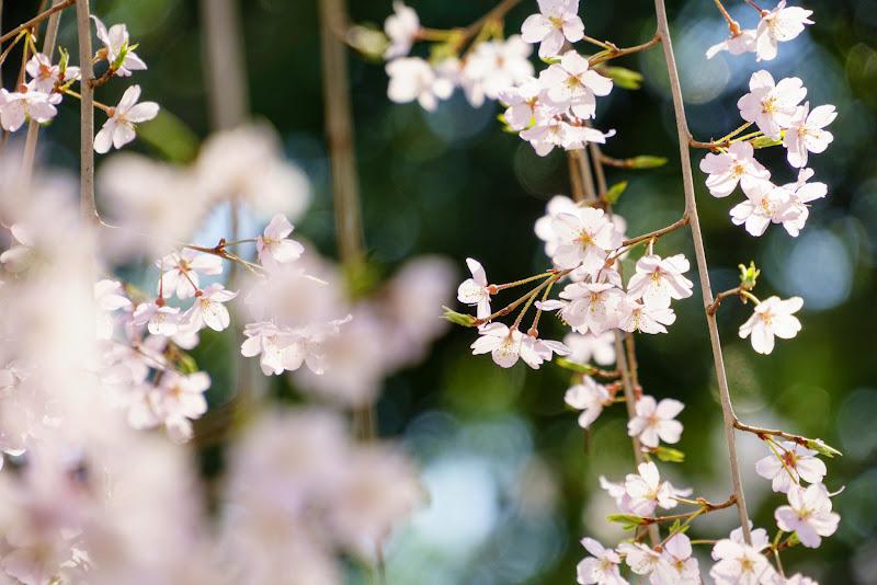 増上寺 桜 写真 7