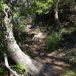 Track over tree at Bournda Lagoon (105844)