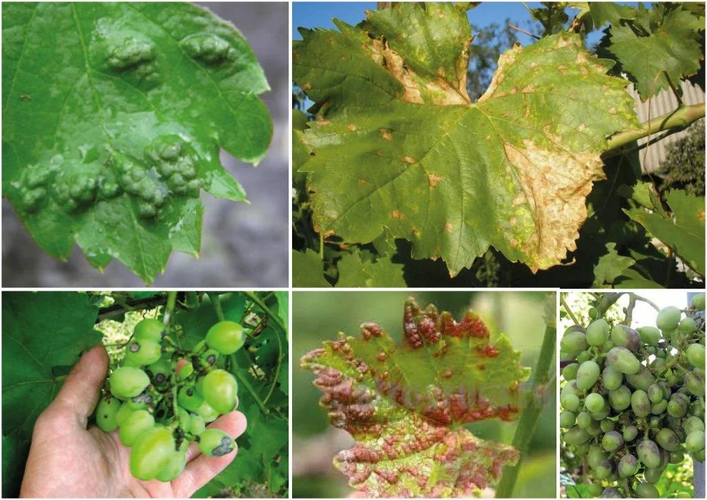 Прогрессирующее заражение листьев виноградным клещом