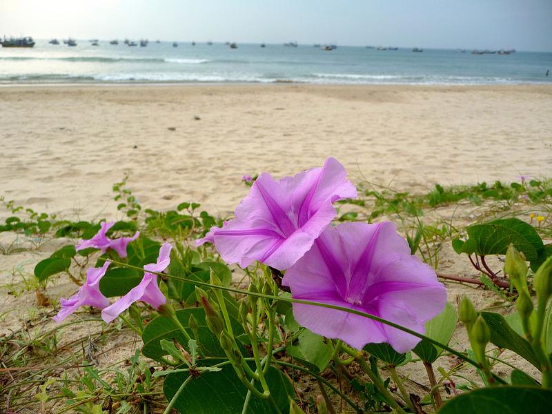 hình hoa muống biển