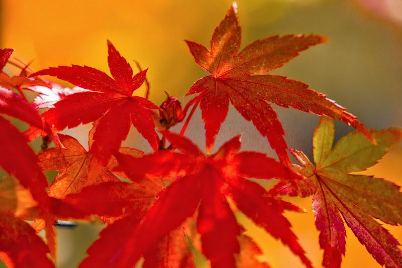 昭和記念公園 日本庭園 紅葉 写真12